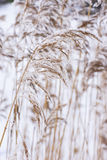 Common reed in icy cold winter. Frosty straw. Freeze temperatures in nature. Snowy natural environment background stock photos