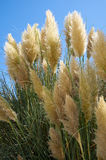 The common reed. Malta Stock Photography