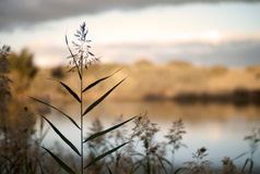 Common reed, Maspalomas, Gran Canaria Stock Photography