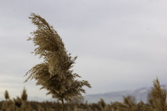 Common reed (phragmite) Stock Photos