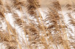 Common Reed (Phragmites) Royalty Free Stock Photography