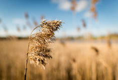 Common reed Phragmites australis as background or texture Stock Image