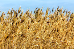 Common reed phragmites australis bending with the wind Royalty Free Stock Photos