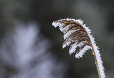 Common reed, Phragmites australis, covered in frost. Stock Image