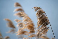 Common reed phragmites australis dry seed heads in spring agai Stock Photos