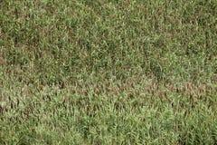Common reed (Phragmites australis) Stock Images
