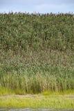 Common reed (Phragmites australis) Royalty Free Stock Photos