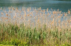 Common Reed, Phragmites Australis, a tall perennial grass. Common Reed, Phragmites Australis, a tall perennial grass in the lake shore on sunny day stock images