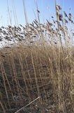 Common Reed (Phragmites australus) Royalty Free Stock Image