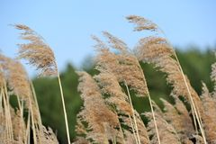 Common Reed (Phragmites). Panicles of common reed (phragmites); green tress in the background Royalty Free Stock Photography