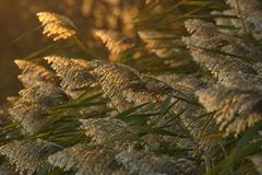Common reed Royalty Free Stock Photography