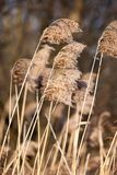 Common Reed (Phragmites) in the Pogoria III lake, Poland. Royalty Free Stock Image