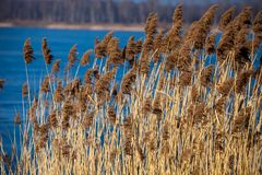 Common Reed (Phragmites) in the Pogoria III lake, Poland. Stock Images