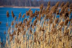Common Reed (Phragmites) in the Pogoria III lake, Poland. Stock Images
