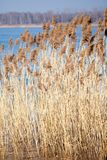 Common Reed (Phragmites) in the Pogoria III lake, Poland. Royalty Free Stock Photography