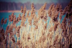 Common Reed (Phragmites) in the Pogoria III lake, Poland. Stock Photos