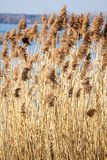 Common Reed (Phragmites) in the Pogoria III lake, Poland. Royalty Free Stock Photo