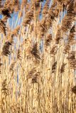 Common Reed (Phragmites) in the Pogoria III lake, Poland. Stock Photography