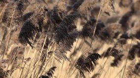 Common Reed (Phragmites) in the Pogoria III lake, Poland. stock video footage