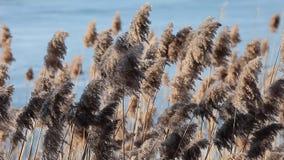 Common Reed (Phragmites) in the Pogoria III lake, Poland. stock footage