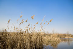 Common reed Stock Images