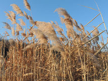 The common reed Stock Images