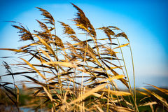 Common reed seed heads Royalty Free Stock Photography