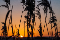 Common reed at sunrise Stock Photography