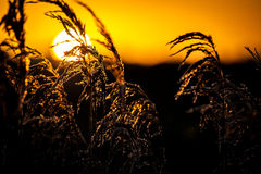 Common reed and sunrise Stock Images