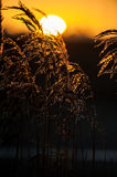 Common reed and sunrise royalty free stock photo