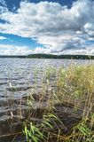 Riparian reed on the lake Seliger, Tver region. Common reed is a widespread grass-like perennial plant up to 5 m high, growing in moist and waterlogged areas royalty free stock photography