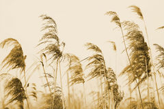 Common reed Royalty Free Stock Photos