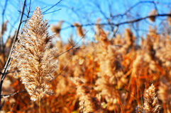 Common reed winterscape Royalty Free Stock Photography