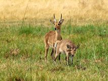 Common reedbuck Stock Image
