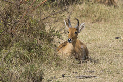 COMMON REEDBUCK male lying under a bush in the savannah sunny da Royalty Free Stock Photos