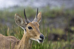 Common Reedbuck Stock Photo
