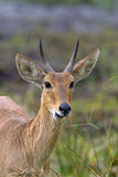Common Reedbuck Stock Images