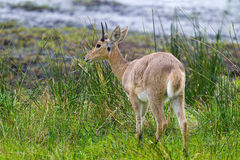 Common Reedbuck Royalty Free Stock Photography