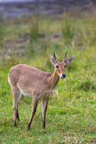 Common Reedbuck standing in grassland Stock Image