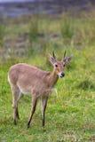 Common Reedbuck standing in grassland Stock Image