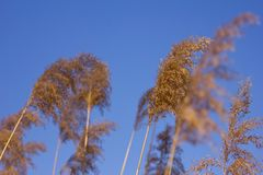 Common reeds on windy day Royalty Free Stock Image