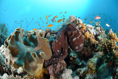 Common reef octopus Royalty Free Stock Photography