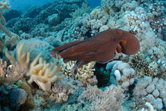 Common reef octopus Stock Photography