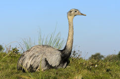 Common Rhea Royalty Free Stock Photography
