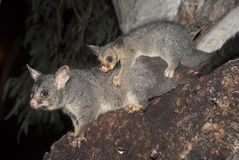 Common ring-tailed possum Stock Image