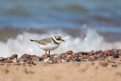 Common Ringed Plover Royalty Free Stock Images