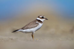 Common ringed plover Royalty Free Stock Image