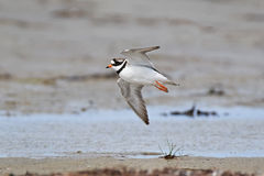 Common ringed plover (Charadrius hiaticula) Royalty Free Stock Photography