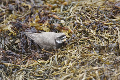 Common Ringed Plover Stock Image