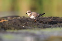 Common ringed plover Charadrius hiaticula Royalty Free Stock Photography